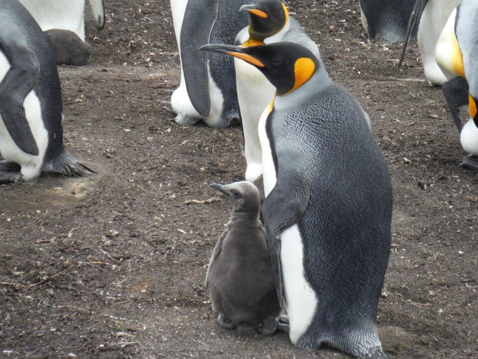 baby King penguin