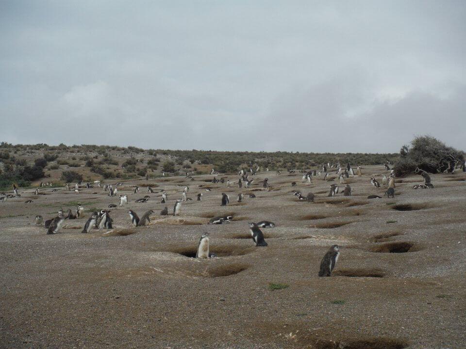 Gentoo penguin nests