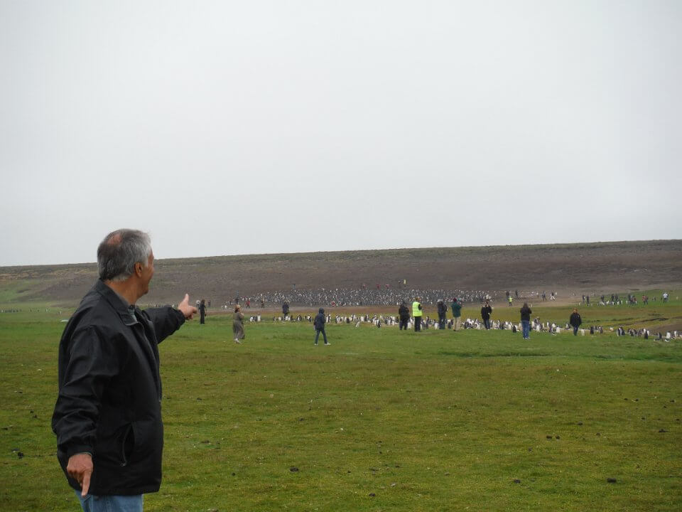 Falkland Island penguins in the wild